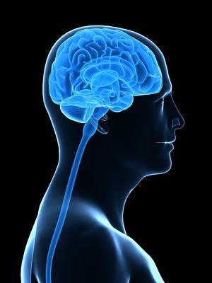 Die Hardware des Nervensystems - Kopf